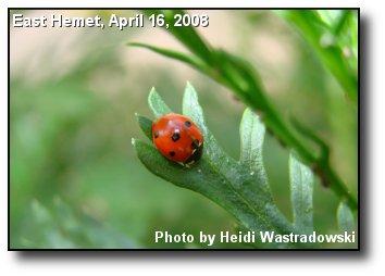 Valley Ladybug