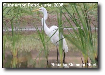 Gunnerson Egret