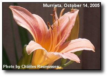 Fall Lily