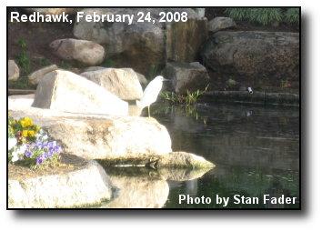 Redhawk Egret